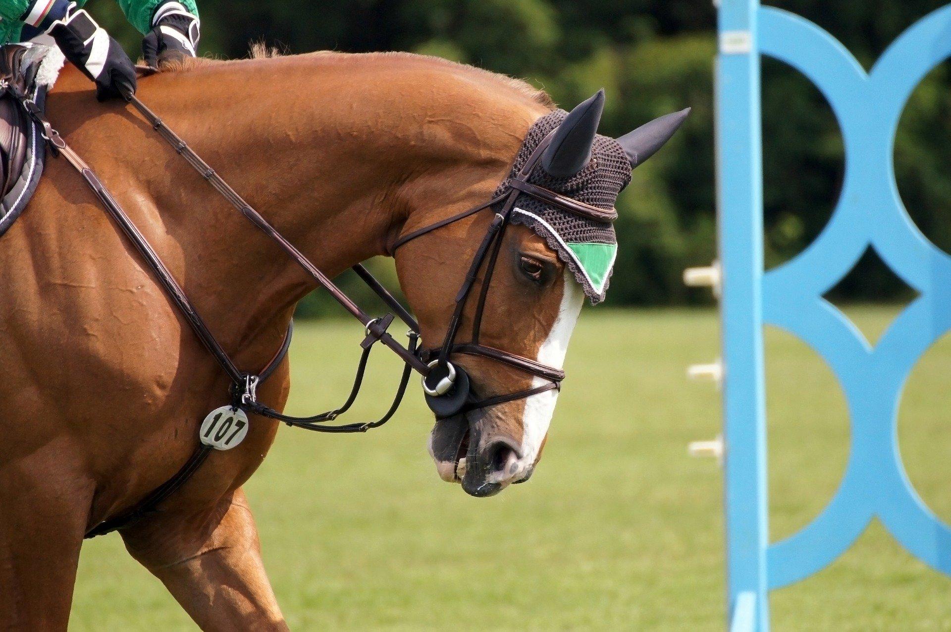 Konie w nausznikach najczęściej widywane są na zawodach